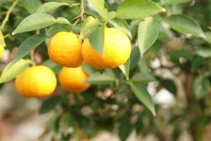 家庭菜園 果物